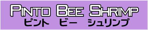 Pinto Bee Shrimp ピントビーシュリンプ